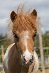Schneewittchen (HendrikSchulz) Tags: horses horse pony pferde pferd 2015 animalphotography schneewittchen tierfotografie minishetty pferdefotografie horsephotography minishetlandpony minishetties friesenstallweh friesenstall hendrikschulz hendriktschulz friesengestütweh