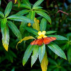 Tropischer Schmetterling - Fackel ( Dryas Julia) (ingrid eulenfan) Tags: leipzig fackel dryasjulia botanischergarten juliabutterfly edelfalter