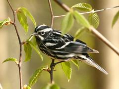 Black-&-White-Warbler-26 (egdc211) Tags: bird nature canon birdwatcher backyardbirding blackwhitewarbler naturewatcher connecticutbird newenglandbird