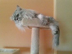 Persian cat Romeo posing on her scratching post (romeosilverpersian) Tags: cats pets cat fluffy chinchilla di gatto gatti domestico animale scratchingpost persiancat purebred razza longhaircats tiragraffi gattipersiani gattipelolungo
