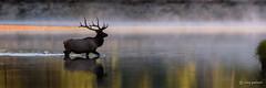 Snake River Crossing (craig goettsch) Tags: nature nikon wildlife ngc bull npc snakeriver d750 elk grandtetonnationalpark specanimal specanimalphotooftheday oxbowbendrd