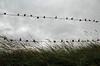 Hagebutten #1 (universaldilletant) Tags: fence zaun landart westkapelle stacheldraht hagebutten