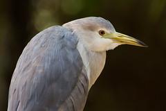 Hunched bird (gyuri200) Tags: bird closeup profile hunched stooped