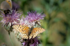 Le Grand nacr - Argynnis aglaja -  (michel lherm) Tags: papillons lpidoptres argynnisaglaja rhopalocres legrandnacr