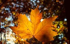 Foglia. (*Valentina.) Tags: november autumn wild leaves canon eos lights novembre natura autumncolors luci foglia dettagli autunno d550 detalis coloriautunnali