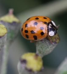"""Harmonia axyridis"" - Aziatisch lieveheersbeestje (bugman11) Tags: orange macro nature animal animals fauna canon bug insect beetle nederland thenetherlands insects bugs ladybird ladybug ladybugs dots beetles ladybirds harmoniaaxyridis thegalaxy 100mm28lmacro infinitexposure"