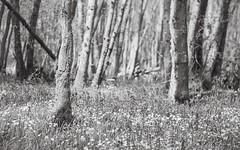Bluebells (ShinyPhotoScotland) Tags: flowers trees blackandwhite blur art nature monochrome beautiful weather bluebells composite forest manipulated woodland scotland spring flora emotion affection unitedkingdom seasonal perthshire places depthoffield innocence growing simple toned crieff hdr cliche elegance gbr narrowdof strathearn tonemapped rawconversion enfuse naturehappens darktable photivo