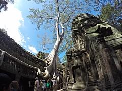 (Silk Cotton Tree) (Sammy) Tags: trip tree cambodia angkorwat angkor taprohm       silkcottontree