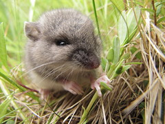 Field Mouse 01 (m.lizsy) Tags: mouse critter tiny