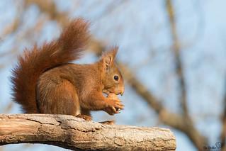 écureuil roux- Cyrano de Bergerac