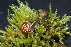 Speedy on Moss 2 (Sybalan,) Tags: macro tuition workshop fungi mosses flowers snail fun nature gastropod scotland garden strip studio lighting indoors naturewildlife plants lichen