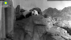 2016_10-15d (gkoo19681) Tags: beibei sleepyhead bigbelly fuzzywuzzy toocute suckingthumb beingadorable ccncby nationalzoo