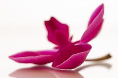 petal edge (sure2talk) Tags: macromondays edge nikond7000 nikkor85mmf35gafsedvrmicro macro petaledge petal orchid pink shallowdof