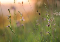 20160609-146F (m-klueber.de) Tags: 20160609146f 20160609 2016 mkbildkatalog europische mitteleuropische flora mainfranken unterfranken orchidee orchidaceae ophapif ophrys apifera sstr bienen ragwurz bienenragwurz