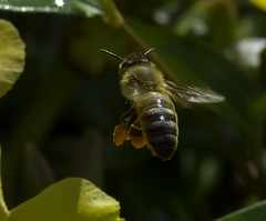 Bee_SAF4056 (sara97) Tags: bee flower flyinginsect insect missouri nature outdoors photobysaraannefinke pollinator saintlouis towergrovepark urbanpark wildlife copyright2016saraannefinke