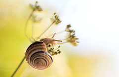 MacroMondays - Backlit (Inka56) Tags: backlit macromondays snail outdoor