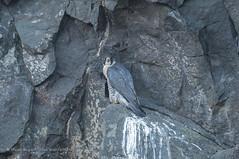 Peregrine Falcon (Steven Mcgrath (Glesgastef)) Tags: peregrine falcon glasgow quarry bird raptor prey scotland uk wild wildlife