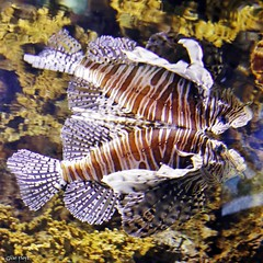 Red Lionfish and reflection. (Gillian Floyd Photography) Tags: red lionfish reflection ripleys aquarium toronto