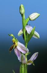 20160612-018F (m-klueber.de) Tags: 20160612018f 20160612 2016 mkbildkatalog europische mitteleuropische flora mittelfranken steigerwald orchidee orchidaceae ophapif ophrys apifera var trollii bienen ragwurz bienenragwurz variett f lus