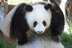 Bai Yun gets the sack (Rita Petita) Tags: baiyun sandiegozoo sandiego california china panda giantpanda