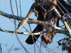 Anhinga  (Luis G. Restrepo) Tags: p2060362 patoaguja anhinga anhingaanhinga anhingidae sawgrasslakepark stpetersburg florida usa northamerica