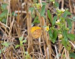 Sleepy Orange Abaeis nicippe (Hodges#4242)_7321 (Alice & Seig) Tags: nc usnwr insects butterflies whitessulphursyellowspieridae sulphursyellowscoliadinae flickr 201610ncbb mannsharbor northcarolina unitedstates