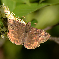 Juvenal's Duskywing _0174  ( Erynnis juvenalis ) (agawa2yukon) Tags: pyrginae hesperiidae lepidoptera butterflies