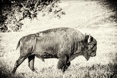 South Dakota '16 (R24KBerg Photos) Tags: animal buffalo bison landscape nature outdoors grassland prairie 2016 canon america usa unitedstates sd southdakota sunrise morning tatanka blackandwhite photoshop