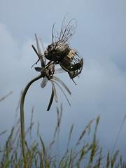 Ensoulesse - Montamis (Esteban 86360) Tags: sculpture ensoulesse montamis vienne france poitou charentes campagne nature insecte bourdon fleur butine t summer flower insect