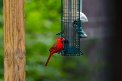 Birds (MarkElliot66) Tags: ifttt 500px birds by birdfeeder cardinal yellow finch back yard