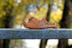 Lost leaf - (rotraud_71) Tags: autumn leaf bokeh macro