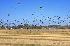 - Wild geese (shig.) Tags: nature natural goose geese wild ricefield sky blue bluesky bird birds