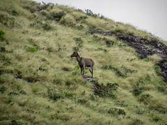 Stand Alone (mohammedali47) Tags: munnar aanamudi peak goat nilgiri ibex hills rocks highrange westernghtas