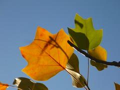 Herbstfärbung Tulpenbaum (Jörg Paul Kaspari) Tags: trier palastgarten liriodendron tulipifera liriodendrontulipifera tulpenbaum herbstfärbung autumncolor herbst autumn fall