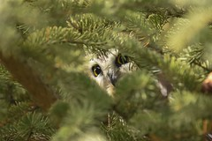 hooo goes there?? (Rob E Twoo) Tags: saw whet owl owls bird birding wildlife ontario canada nature northern