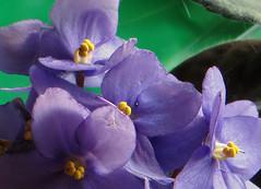 5-IMG_1538-001 (hemingwayfoto) Tags: balkon blhen blte bltenstempel blau blume floristik macro natur topfpflanze usambaraveilchen vorauswahlfrkalender zierpflanze zuchtform