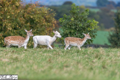 PDR_9108 (PhilReayPhotography) Tags: deer deerpark fountainsabbey studleyroyal