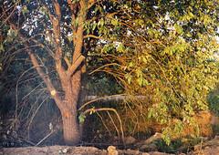 --2014-07-yashica-arhstoyanie-000020-s Sunrise (tataata) Tags: 2014 july russia nikolalenivets summer trees landscape film analog fed3 35mm color light