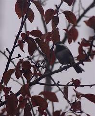 Birdwatching 20141122 (caligula1995) Tags: birdwatching chickadee plumtree