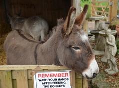 a stable situation (simon edge) Tags: nikon d5100 donkeys sigma 1750mm
