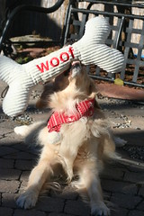 Sunny 49/52 (Lianne (calobs)) Tags: 52 weeks for dogs goldenretriever