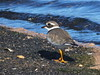 Ringed Plover Charadrius hiaticula (davidcawthraw) Tags: lanzarote canaryislands ringedplover charadriushiaticula