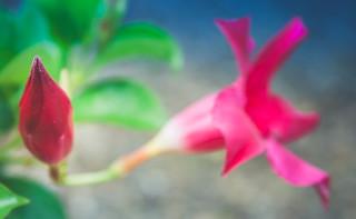 Dipladenia rose
