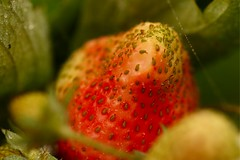 Please give me another week of sunshine and maybe... (AngharadW) Tags: spidersweb macro dof green seeds strawberry