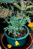 IMG 4783 (Eminpee Fotography) Tags: garden californianpoppy flowers