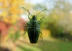 Shield-bug 321/366 - EXPLORED (Hornbeam Arts) Tags: insect garden bug