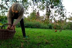 it's harvest time!!! (domit) Tags: harvest time home montbernanchon france apple tree basket oma