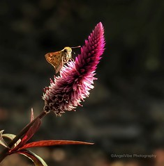 Skipper in the limelight on Celosia (AngelVibePhotography) Tags: celosia nikon blossom closeup blossoms nature photography butterflies garden arthropods butterfly outdoor plant pink colorful purple goldenhour skipperbutterfly nikonp900 depthoffield insect macro flowers insects skipper flower northcarolina