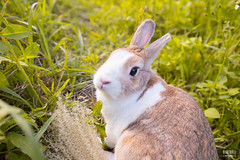 IMG_1726.jpg (ina070) Tags: animals canon6d cute grass outdoor outside pets rabbit rabbits