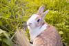 IMG_1726.jpg (ina070) Tags: animals canon6d cute grass outdoor outside pets rabbit rabbits 兔 兔子 寵物 草叢 草地 草皮 å åå å¯μç© èå¢ èå° èç®
